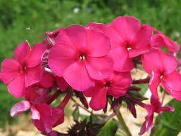 Perennial Pleasures Landscape Design Charles Curtis Garden Tall Phlox Best Mildew Resist
