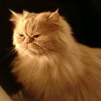 Resultado de imagen para imagenes de gatos persa