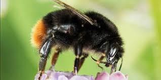 Bee Identification Chart Uk Uk Bumblebee Species Guide Blooms For Bees