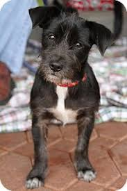 black wire haired terrier mix. Unique Haired Adopted In Black Wire Haired Terrier Mix T