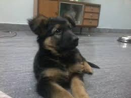 black and brown german shepherd puppies.  German German Shepherd Puppy  DogSpotin And Black Brown Puppies