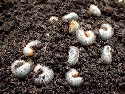 Getting Rid Of Lawn Destroying Grubs