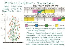 Sunflower Growing Chart Mexican Sunflower How To Sow Grow Care For With Images