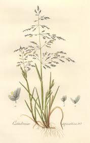 Catabrosa aquatica Water WhirlGrass PFAF Plant Database