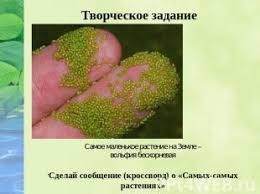 Презентация на тему Разнообразие растений класс скачать  слайда 18 Творческое задание Самое маленькое растение на Земле вольфия бескорневая Сдела