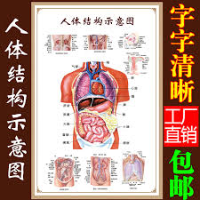 Human Organ Chart Usd 11 18 Human Visceral Anatomy System Diagram Medical