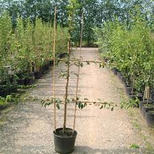 Espalier Fruit Trees  Create A Home Orchard With A Small Growing Cordon Fruit Trees
