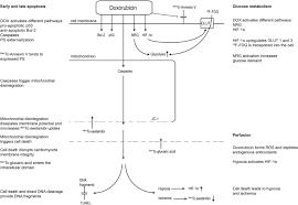 doxorubicin treatment in mice
