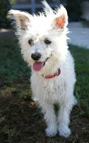 white terrier mix puppies.  Mix West Highland White Terrier Westie U0026 Poodle Mix U2022 Young Male  And Puppies O