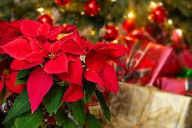 Drei Pflegetipps Für Den Weihnachtsstern So Blüht Er Ganz