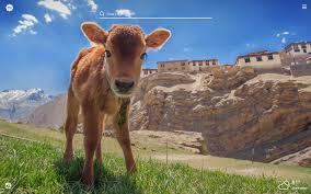 My Baby Cows HD Wallpapers New Tab ...