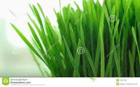 grass blade close up. Close Up Of Blades Grass Blade E