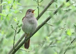 Rspbs Let Nature Sing Enters Uk Singles Chart Birdguides