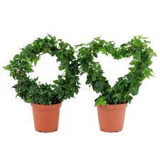 Ivy Classic Ring and Heart Topiary in Grower Pot Pair