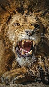 Great Lion Ultra Hd Wallpapers For ...
