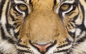 mac tiger wallpaper. Plain Mac On Mac Tiger Wallpaper