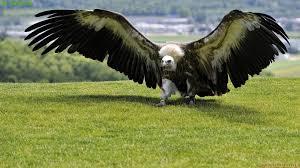 Wingspan Eagle Desktop Wallpapers 1280x800