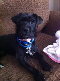 black terrier mix. Beautiful Terrier This Golden Girl Is A Twoyear Old Black Wire Haired Terrier Mix Ready To  Love Her New Forever Family Estelle Getty Was Found Tied Pole In West  For Black Terrier Mix S