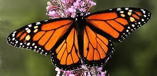 Resultado de imagen de mariposa monarca poesia