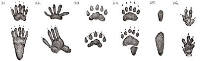 36 Most Common Animal Tracks Identification Guide For Usa