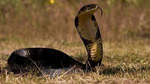 king cobra snake hd wallpaper desktop background