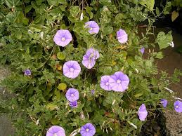 Convolvulus sabatius - Wikipedia