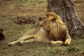why animals become endangered and what we can do to help an african lion resting under a tree in the grass