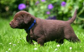 chocolate lab puppies. Interesting Puppies When Can My Puppy Go Out And Chocolate Lab Puppies 7