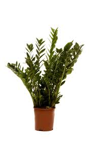 great office plants. Lush Fleshy Dark Green Leaves Make This A \u0027stand Out\u0027 Office Plant - Great For Most Conditions But Don\u0027t Give It Too Much Plants S