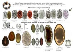 Canine Parasite Egg Identification Chart Alpaca Parasite Eggs Uinta Alpacas Vettechlife Vet Tech