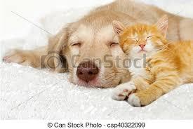puppy and kitten sleeping. Fine Sleeping Lovely Puppy And Ginger Kitten Sleeping On A White Bedspread  Csp40322099 And Puppy Kitten Sleeping