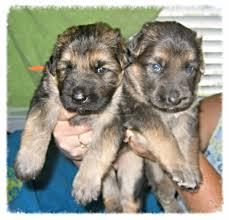 black german shepherd puppies with blue eyes. Perfect Shepherd Blue German Shepherds Inside Black Shepherd Puppies With Eyes G