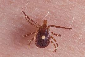 How one tick bite can lead to a life-threatening meat allergy   PBS ...