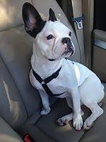 grown white french bulldog. Wonderful Bulldog French Bulldog White With Dark Patches To Grown White Bulldog H