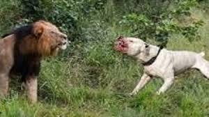 pitbull dog vs wolf. Interesting Pitbull Leopard Vs Dog Wolf Pitbull Alabai Puppy Wild Animals Kill  Dogs  YouTube With Pitbull Dog Vs
