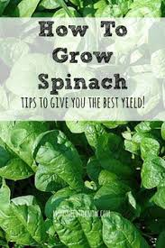 Image result for sowing lettuce and spinach