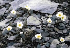 Ranunculus parnassifolius - Wikipedia, la enciclopedia libre