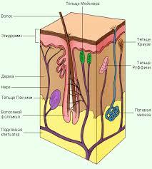 Кожа Биологоия Рефераты Только у нас Свежие рефераты Строение кожи человека