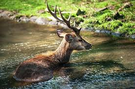 deer repellent for gardens. Garden Deer Nature Photograph Refreshing 2 Male In The Botanical By Repellent . For Gardens