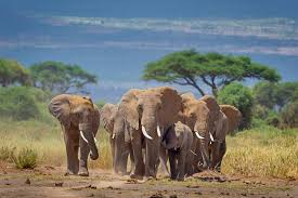 Elephants walking from the foothills of Mt. Kilimanjaro to… | Flickr