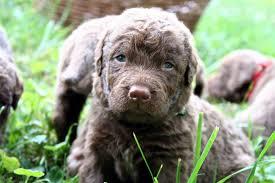 boatswain dog. greenforwardgrass.jpg boatswain dog o