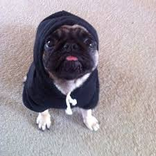 Cute Pug your Fashions May Take Some Getting Used Tou2026 No Offense 21 Baby Pugs Who Are Basically Just Cute Little Aliens Pinterest Your Fashions May Take Some Getting Used To No Offense