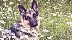 Healthy Eating For A German Shepherd Petcarerx