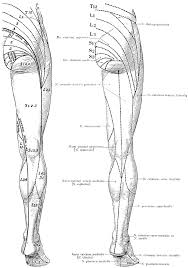Nerve Chart Leg Cutaneous Nerves On The Back Of The Legs Clipart Etc