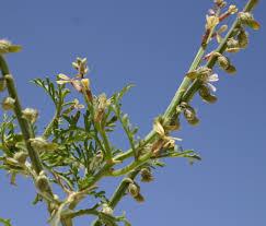 Carrichtera annua (L.) DC. | Flora of Israel Online