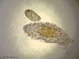 tardigrade actual size water bear tardigrade meets paramecium youtube