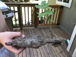 killing blackberry bushes permanently. My Husband Found This Blackberry Root Growing New Plant Up Through Chunk Of Bark The Himalayan Blackberries Are Extremely Invasive Here And Can With Killing Bushes Permanently