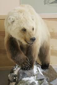 grolar bear size caine grolar bear yagodnoye leader bears pinterest bears and