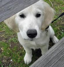 albino golden retriever. Contemporary Retriever Tessie McGreevey A Golden Retriever Puppy On Albino E