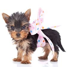 many will have you believe that these dogs are special in some way however taking an already small dog and shrinking it further and further